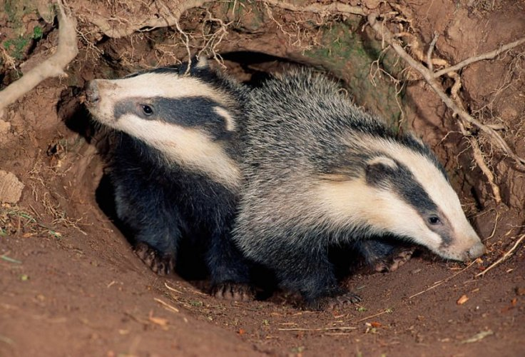 079_403__badgercubs3lcampbell_1466542525_standard