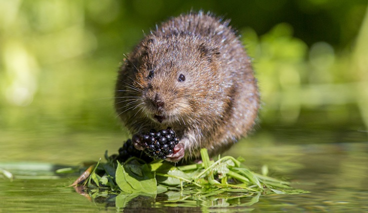water-vole-arvicola-amphibius-on-leaves-two-column