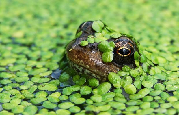 frog-pond-weed_1468743b